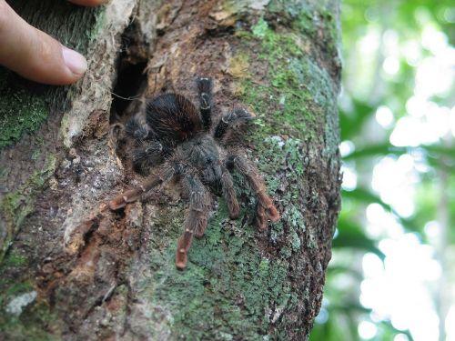 tarantula,džiunglės,vabzdys,gamta,laukinė gamta,arachnid,plaukuotas,miškas