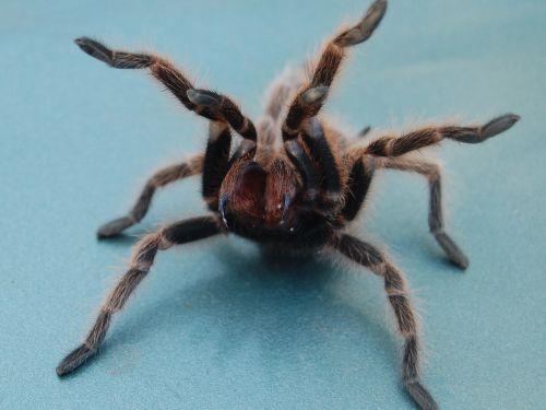 tarantula spider fuzzy