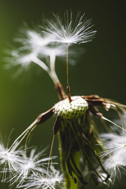 taraxacum,dandelion,seeds,nature,meadow,green,plant,grass,flora,common,spring,environment,vintage,outdoor,natural