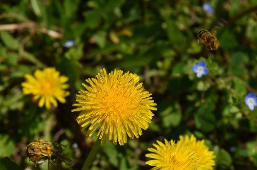 taraxacum officinale  bee  flower