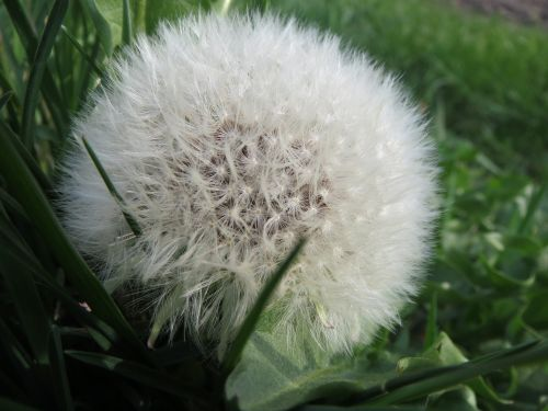 taraxacum sect ruderalia dandelion blowball