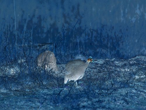Tarentaal Fowl Invert