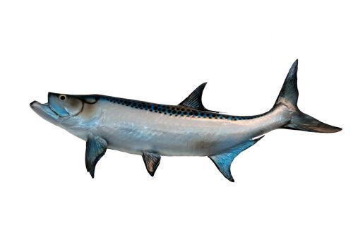 tarpon fish mounted