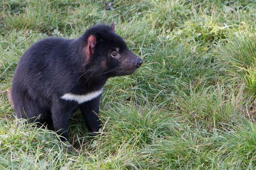 tasmanian devil tasmania marsupial