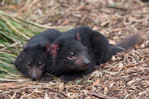 tasmanian devil  tassie devil  devil