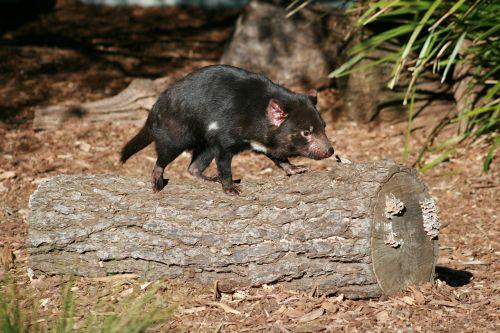 tasmanian devil australian wildlife