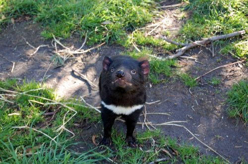 tasmanian devil tasmania animal