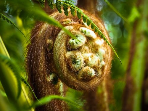 tasmanian fern fern plant