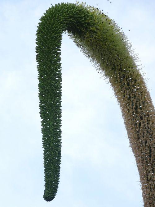 pūslelinė,augalas,gamta,kreivė