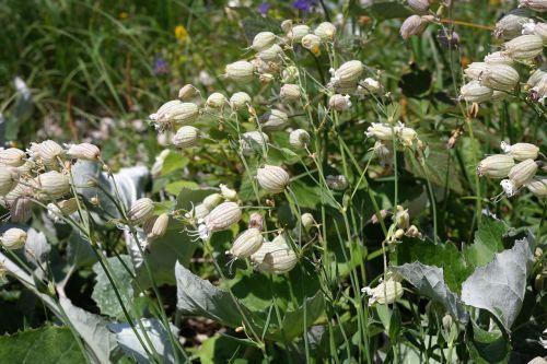 taubenkropf leimkraut flower blossom
