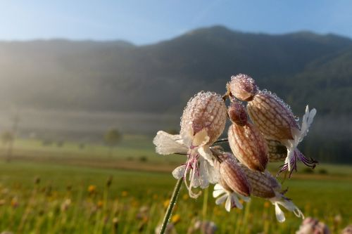 taubenkropf leimkraut herb silene vulgaris