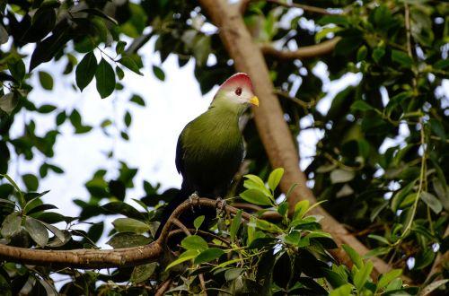 tauraco erythrolophus rotschopfturako bird