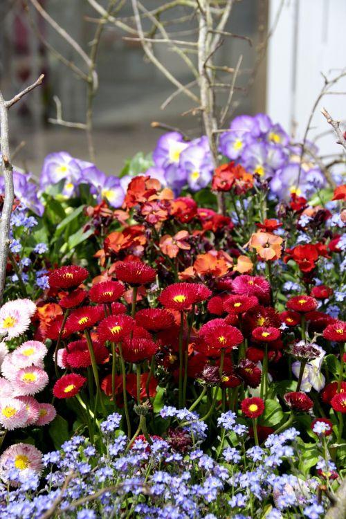 tausendschön bellis multiannual daisy