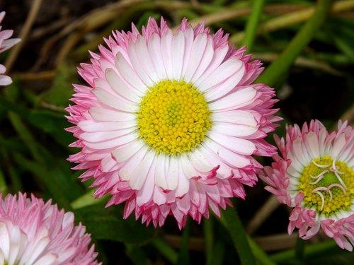 tausendschön  daisy  composites