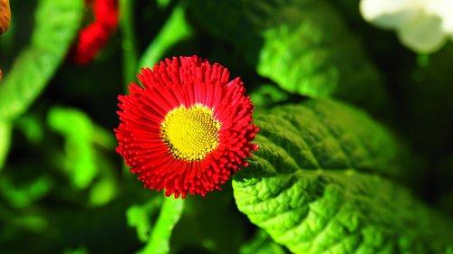 tausendschön  blossom  bloom