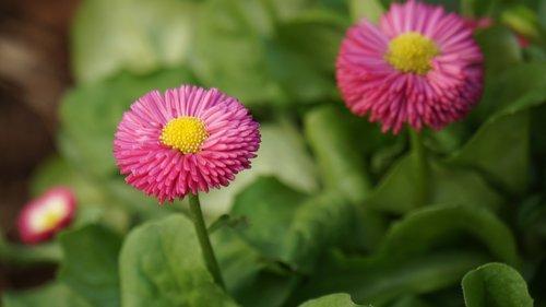 tausendschön  flower  blossom
