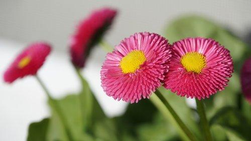 tausendschön  flowers  pink