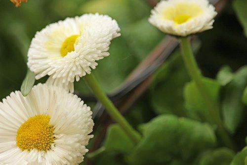 tausendschön  spring flower  garden