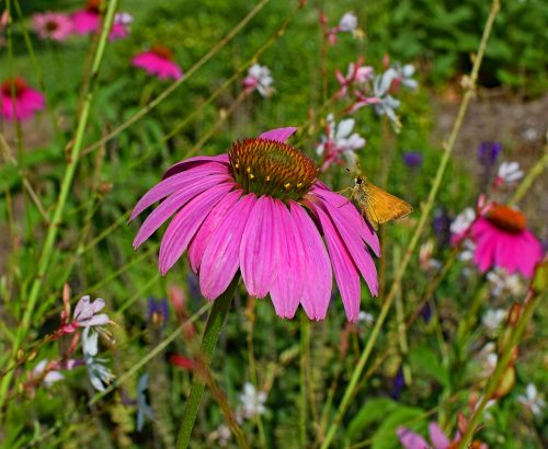 tawny-edged skipper butterfly pink