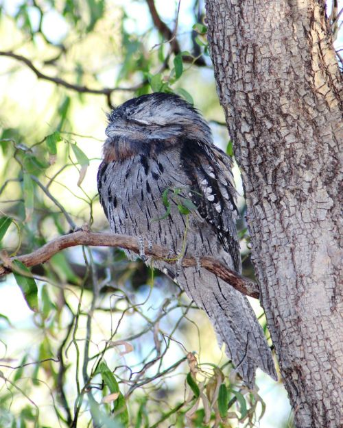 tawny frogmouth sleeping nocturnal