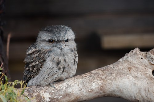 tawny frogmouth  chick  frogmouth