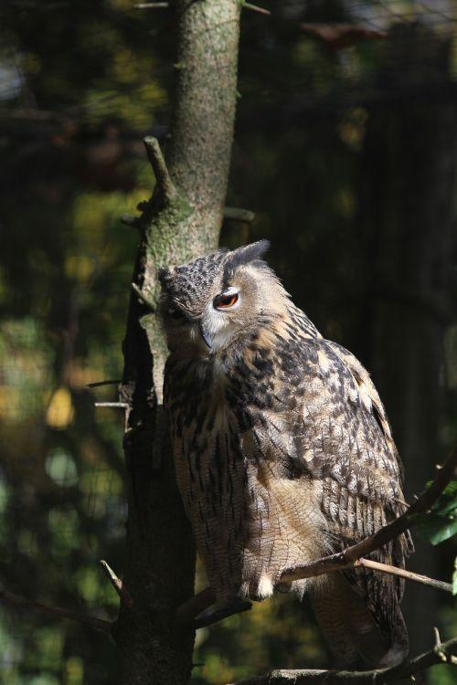 tawny owl eagle owl raptor