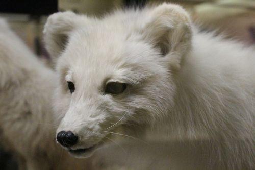 taxidermy fox white