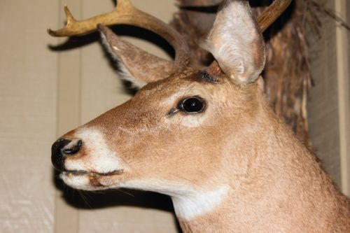 Taxidermy Deer 2
