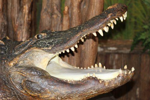 Taxidermy Gator Head