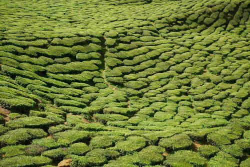 tea plant green
