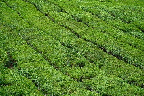 tea the tea plantations beautiful