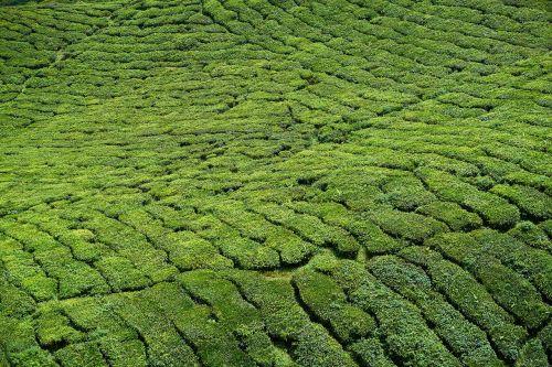 tea tea plants field