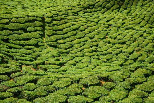 tea field green