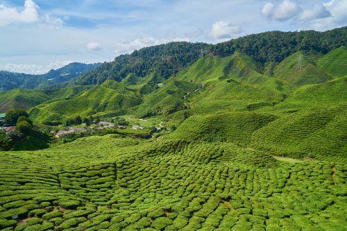 arbata,laukas,augalas,mažasis medis,gamta,taika,saulėtas,aplinkosauga,kalnas,Žemdirbystė,fonas,kaimas,lapai,kraštovaizdis,žalias,arbatos plantacijos,puiku,gražus,arbatos sodas,taylor,asian,žolė,arbatos augalai,tekstūra,dangus,horizontalus,Malaizija,puikus,oras,švarus,debesis,švarus oras,miškas,natūralus gyvenimas,po atviru dangumi,lapai yra,medis,žalias laukas,stovykla,deguonis,modelis,spalva,ryški spalva,rytas,diena,vasara