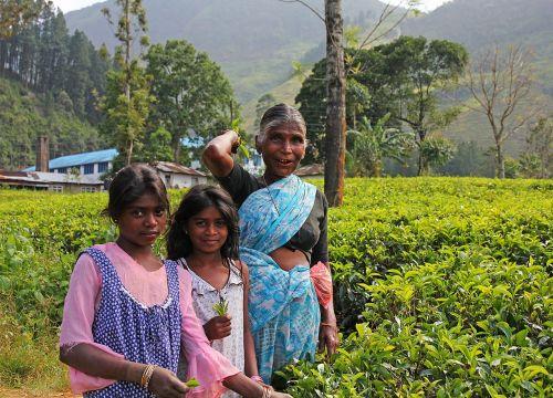tea the tea plant plantation