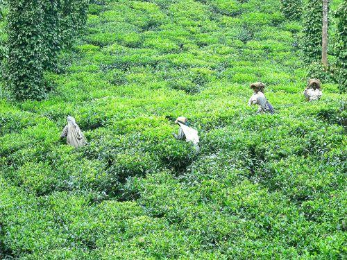 tea tea plantation tea farm