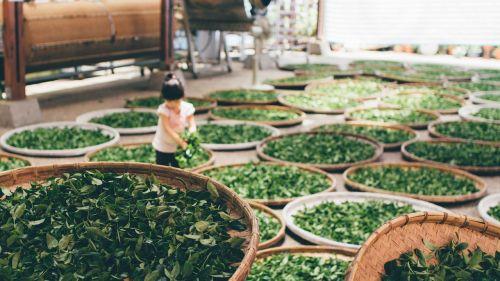 tea work harvest