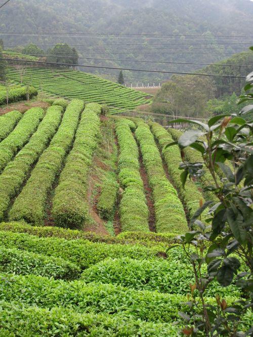 tea collection plantation