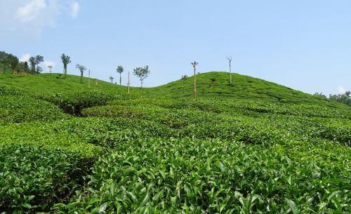 tea garden tea plant