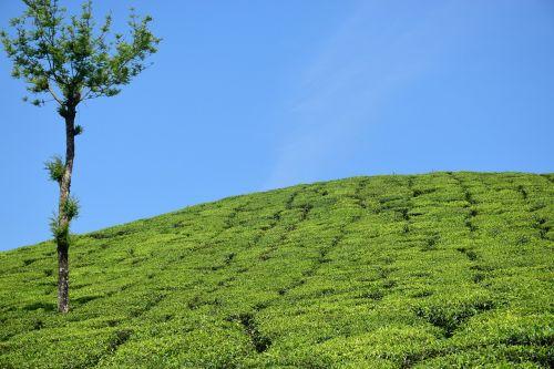 tea garden tea plantation tea estate