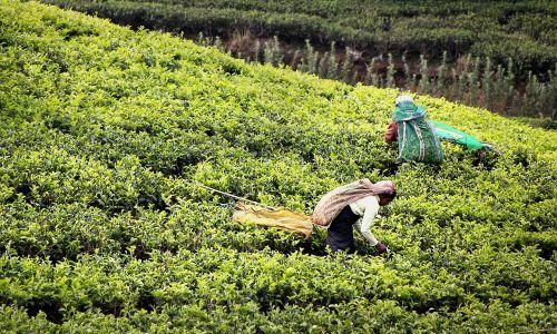 tea harvest tee tea plantation