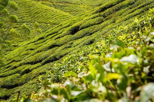 tea leaves tea plantation