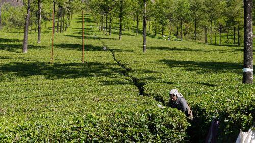 tea picker tea munnar