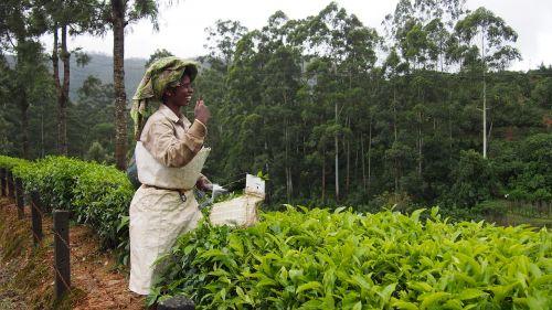 tea plantation india munnar