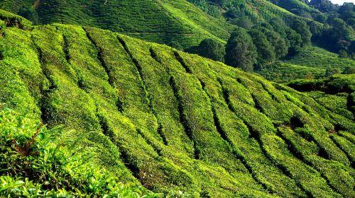 tea plantation green field