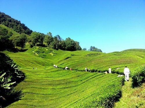 tea plantation tea farm tea