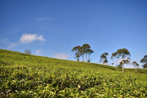 tea plantation tea landscape