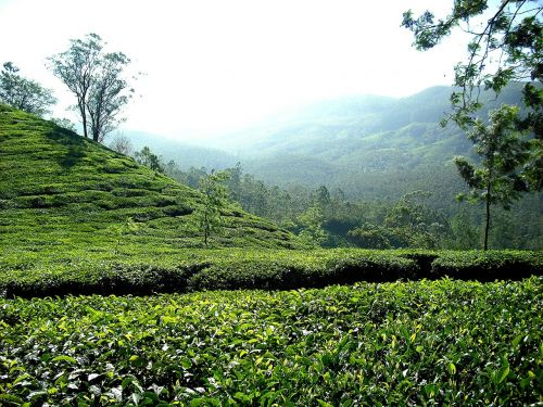 tea plantation tea plantation