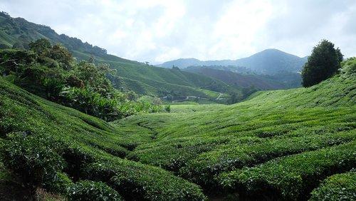 tea plantation  cameron highlands  malaysia