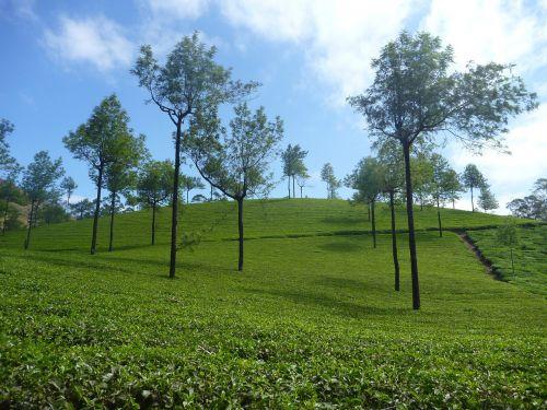 tea plantation plantation landscape